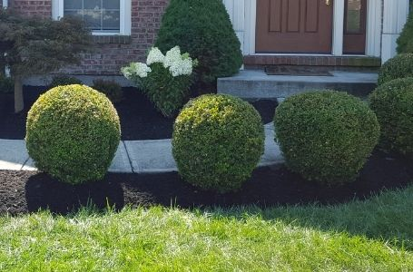 Several shrubs in a small landscape bed lining the walk way of a home. The shrubs have been pruned into neat, round shapes.