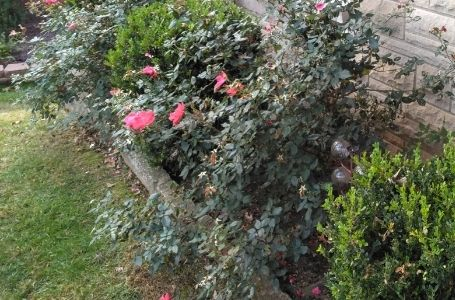 A landscape bed filled with overgrown shrubs and plants before a pruning service.