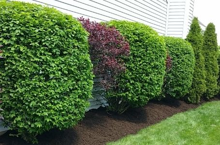 A line of neatly and uniformly pruned hedges in a landscape bed lining a home.